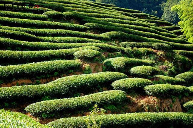 плантации чая сорта оолонг (улун)